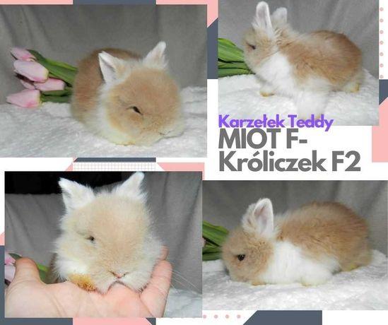 Królik miniaturka Karzełek Teddy- zarejestrowana hodowla - metryka F2