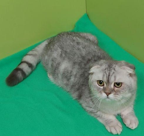 Вислоухий  серебристый котик