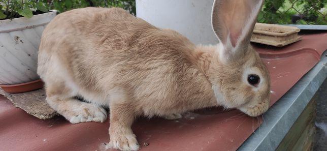 Sprzedam króliki urodzone w lutym i marcu tego roku