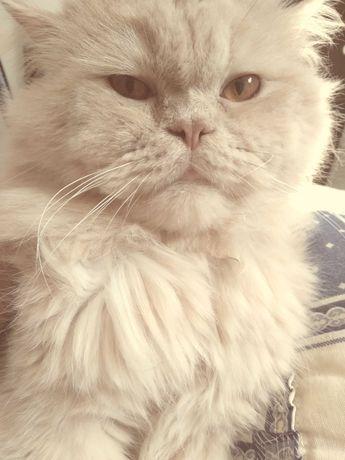 Gato persa lindo procura gata persa para acasalamento