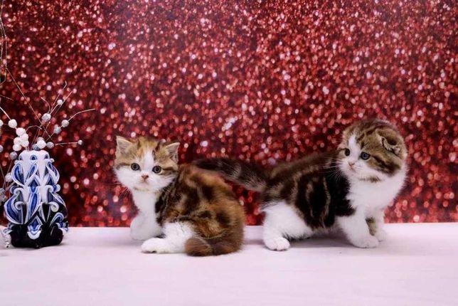 Яркие и очень красивые шотландские котята по цене от 3000 грн и выше