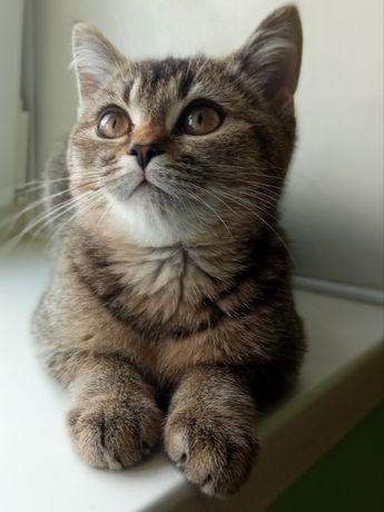Шотландська шиншила запрошує на в'язку кішечок
