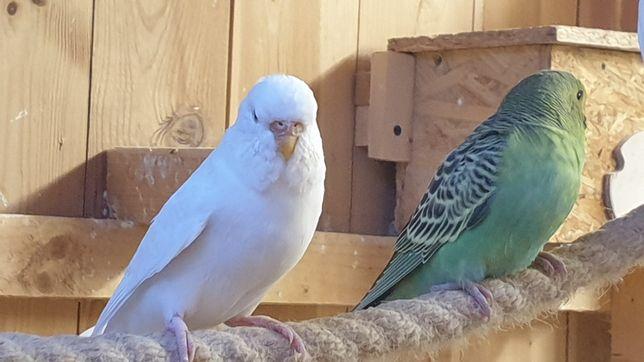 Sprzedam papugi faliste