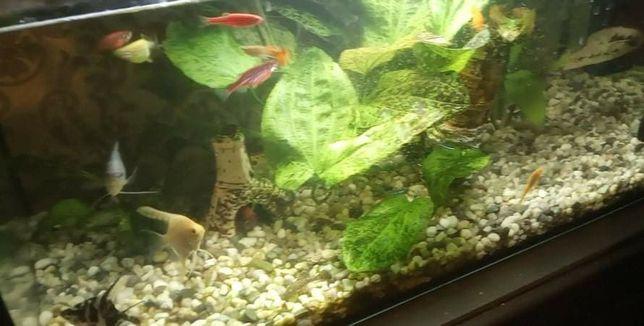PILNE rybki/glonojady