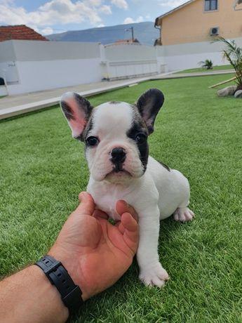 Magnífico bulldog francês