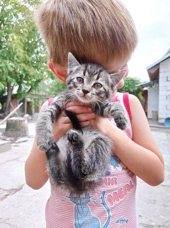 Британське кошенятко безкоштовно