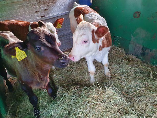 Złoczew mięsne byczki i jałoweczki
