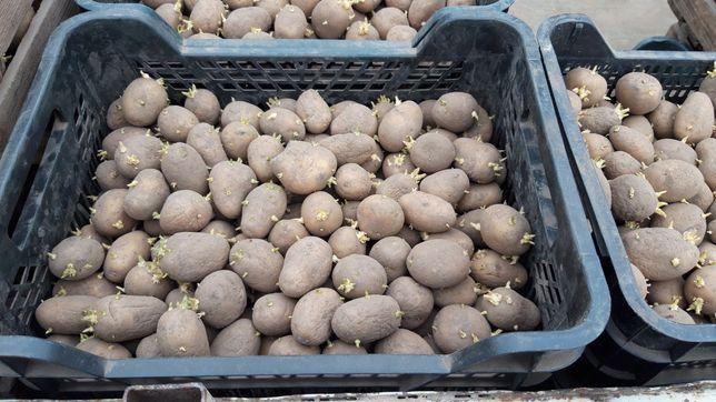 Ziemniaki Lord Bellarosa  do sadzenia