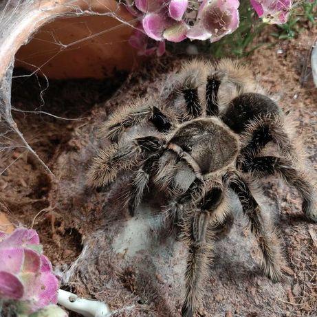 Самки пауков птицеедов для новичков Brachypelma albopilosum