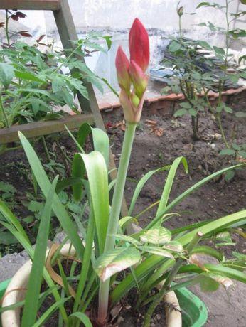 Алый гиппеаструм. ( лилия). молодые растения
