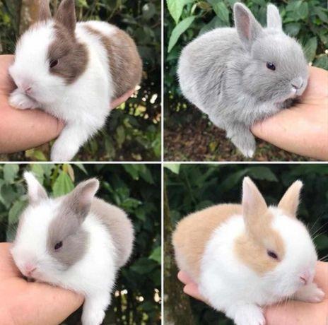 KIT completo coelhos anões mini muito fofos