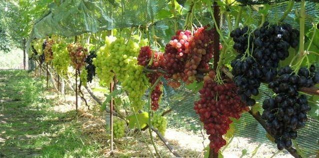 100% сорт. Саженцы винограда