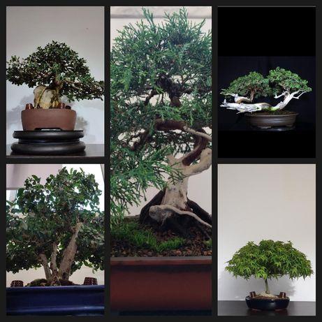 Bonsai  sabina, juniperus, Zambujeiro, Ligustrum, Acer kiyohime