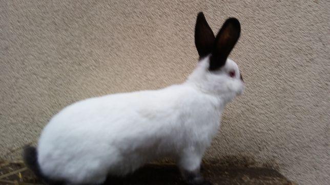 królik samica rasy kalifornijska czarna samica
