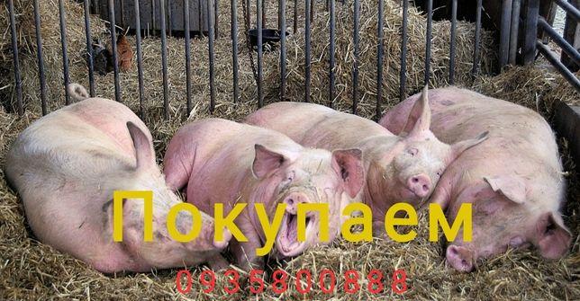 Свиноматки , кнуры, хряки,дорезы