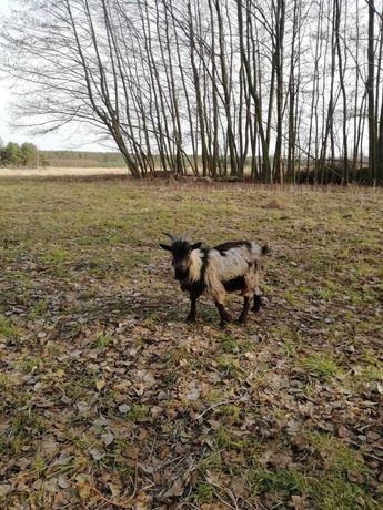 Koziołek miniaturka koza kozioł cap