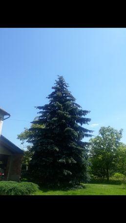 Продам ялинку (синя) 11 - 12 метрів