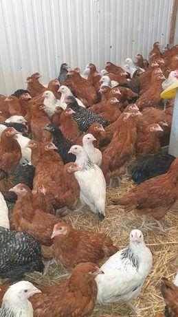 Kury nioski młode, przed jajkiem Grabów