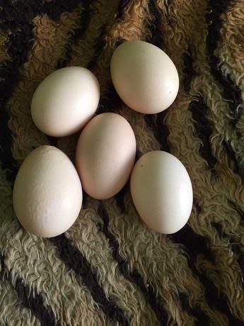 Jaja wiejskie 10 zł za mendel