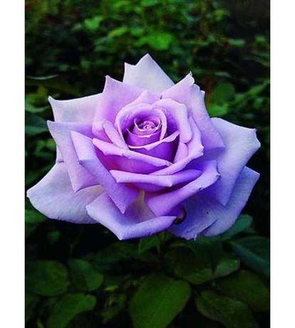 """Саженцы чайно-гибридной розы """"Голубой Нил"""""""