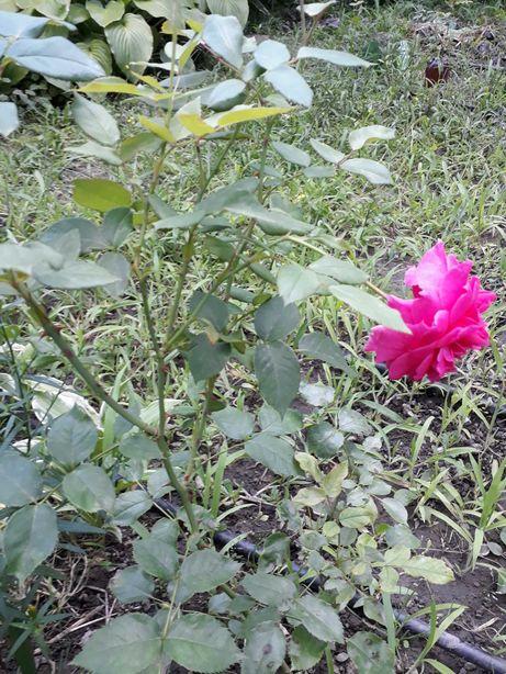Продам саженцы вьющейся розы