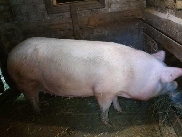 Свиня срочно продаю