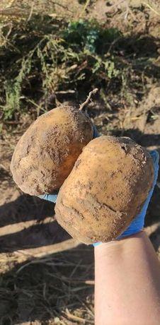 Ziemniaki odmiana Mirabell