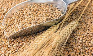 Пшеница, ячмень