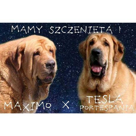 Mastif hiszpański -szczenięta