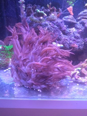 Akwarium morskie Anthelia