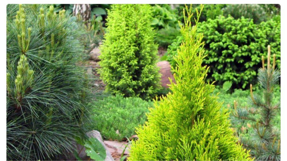 Обмін на хвойні рослини