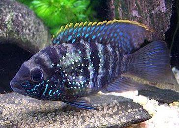 Vários peixes XL