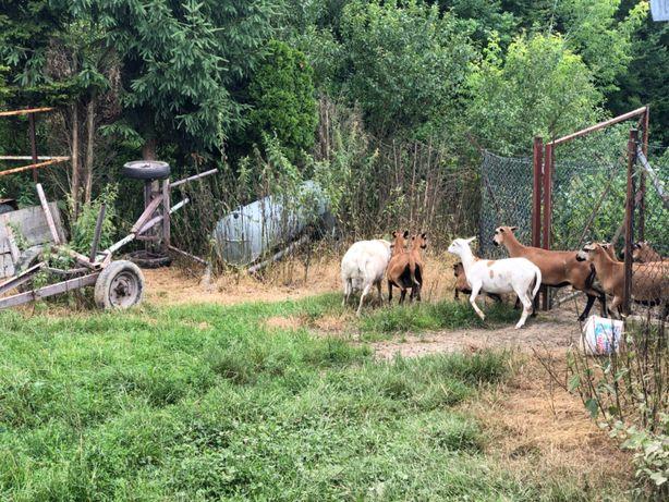Owce Kameruńskie Młode