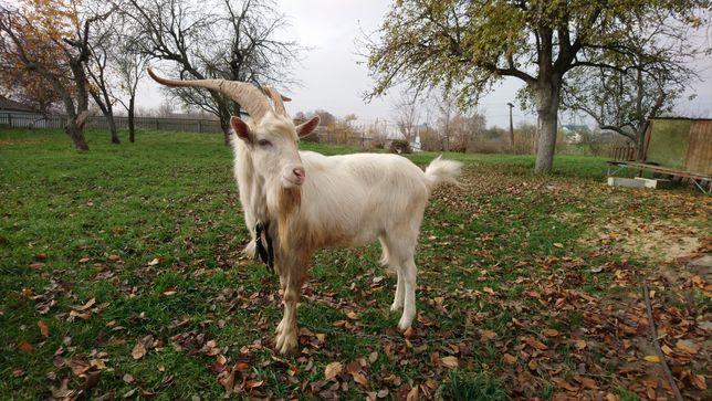 Зааненский козёл племинной 100%  , вязка.