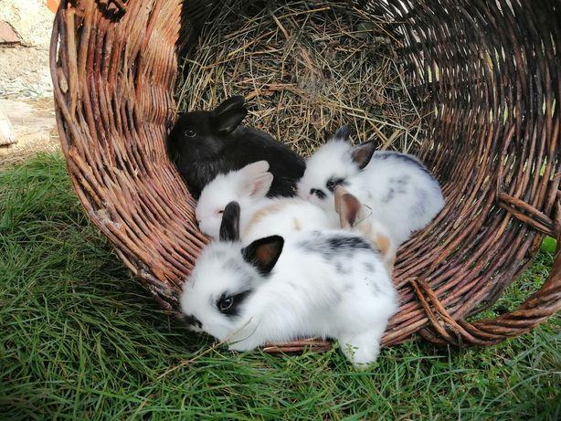Декоративні кроленята