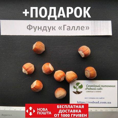 Фундук Галле семена 10 штук на саженцы(орех,насіння горіх на саджанці)