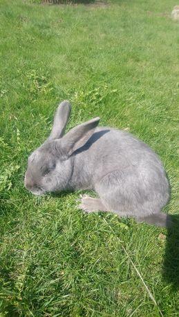 Samiec królik samiec królik