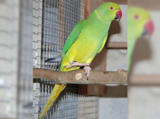 Продам самок ожерелового попугая 17 года