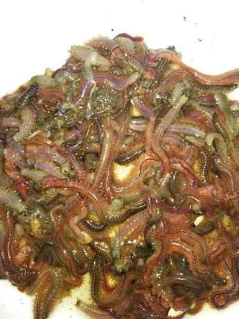 Недорого Морской червь, опарыш, мотыль