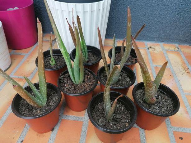 Planta cato aloe Vera (babosa)