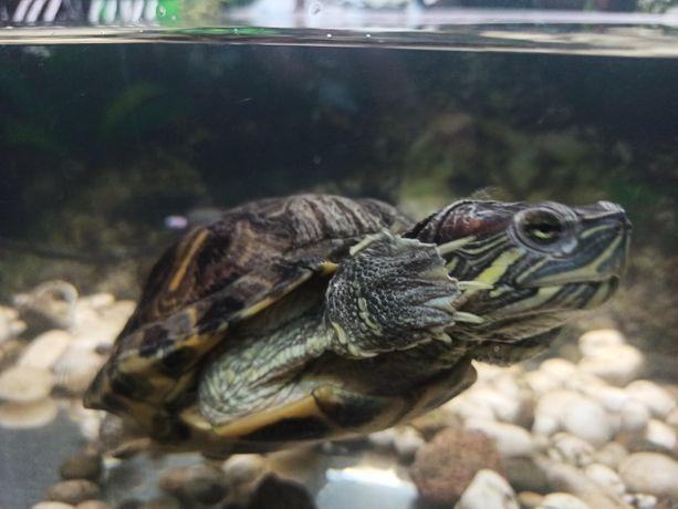 Черепаха красноухая с аквариумом, фильтром, обогревателем, декорациями