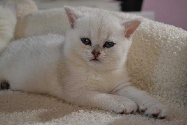 Нежнейшие котята мальчик британская серебристая шиншилла