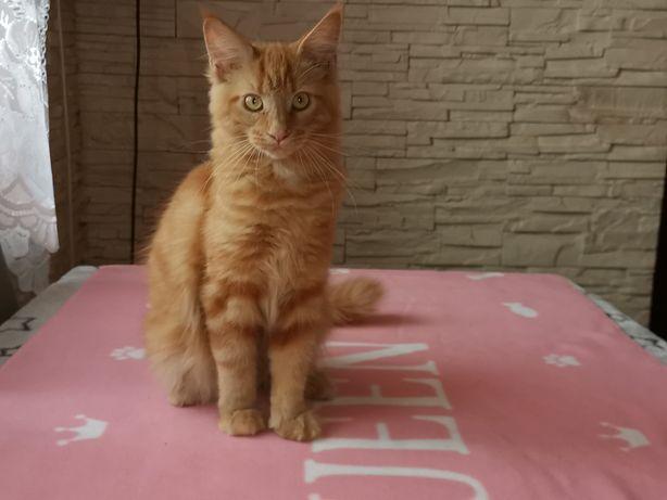 AZURA- prześliczna ruda kotka Maine Coon