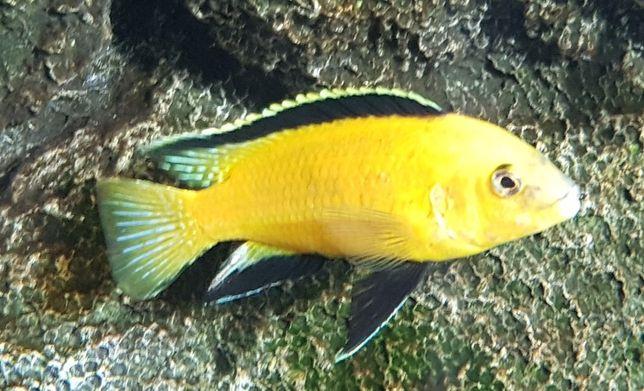 Labidochromis Caeruleus Pyszczak Pielęgnica Malawi Yellow duże