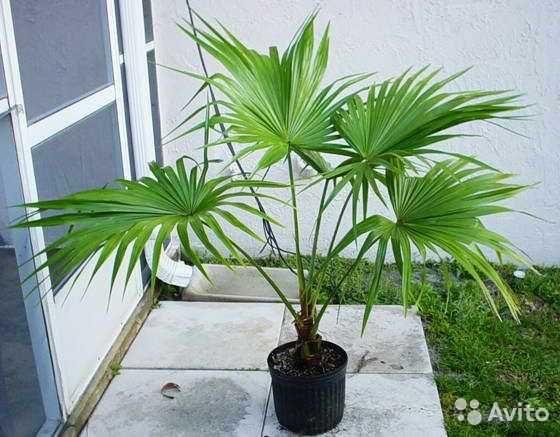 саженцы пальмы  трахикарпиус
