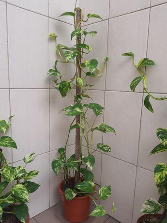 Plantas de interior  três tamanhos