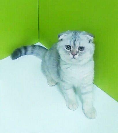 Вислоухий котик шиншилла .