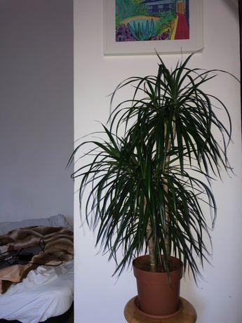 Dracaena marginata, 90cm