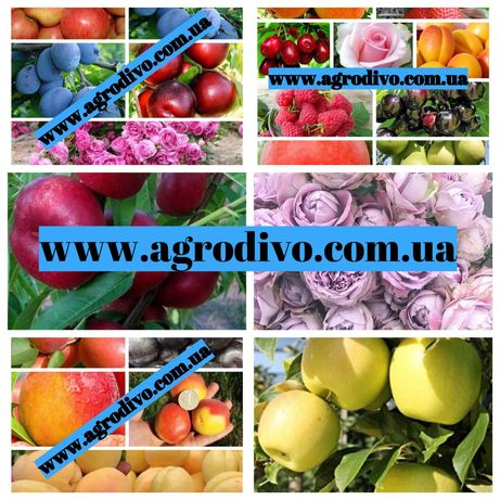 """Саженцы плодовых деревьев, кустарников, роз в питомнике """"Агродиво"""""""