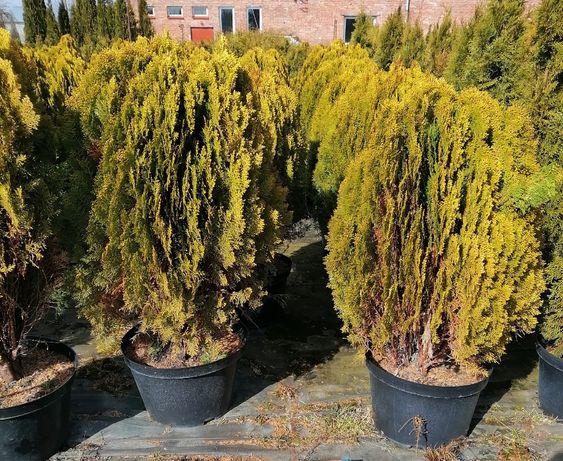 Thuja Aurea nana , thuje, tuja Szmaragd 90-110 cm